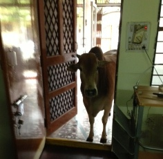 cow at the clinic
